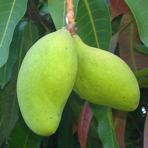 green_mangoes